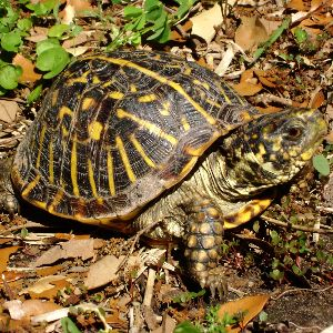 Ornate box turtle in Wyoming