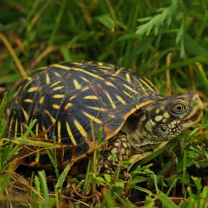 Ornate box turtle (terrapene ornata) by Peter Paplanus