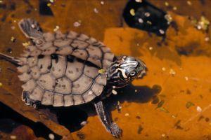 Ouachita Map Turtle