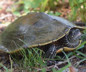 Ouachita Map turtle in Illinois (Graptemys Ouachitensis)