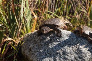 Pacific pond turtles (actinemys marmorata)