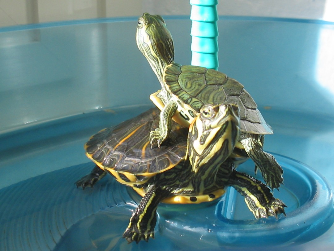 How to Buy a Turtle foto