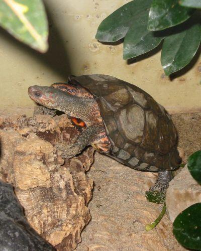 Painted Wood Turtle (Rhinoclemmys_Pulcherrima)