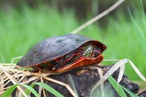 Painted turtle on log pulled back into its shell
