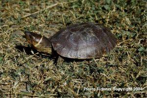 Philippine forest turtle sitting in grass