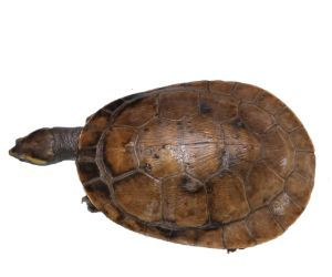 Pink Bellied Sideneck Turtle (Emydura_subglobosa) top view