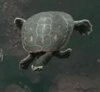 Pink Belly Sideneck Turtle