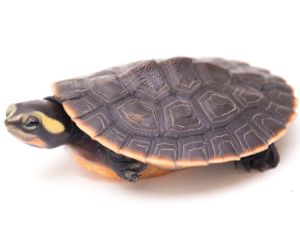 Pink Belly Sideneck Turtle on white background