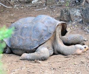 Pinta giant tortoise (Chelonoidis abingdonii) resting in dirt