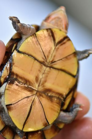 Plastron of a white lipped mud turtle (Kinosternon Leucostomum)