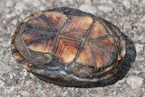 Plastron of mississippi mud turtle