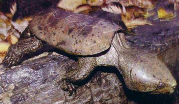 Platysternen_megacephalum (Big Headed Turtle)