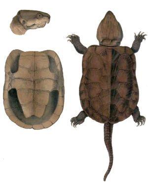 Platysternon_megacephalum_(Big Headed Turtle)