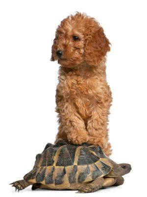 Poodle on top of tortoise
