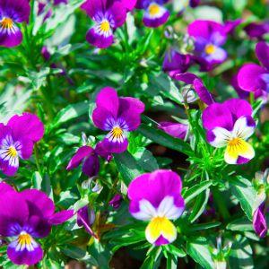 Purple variety of petunias