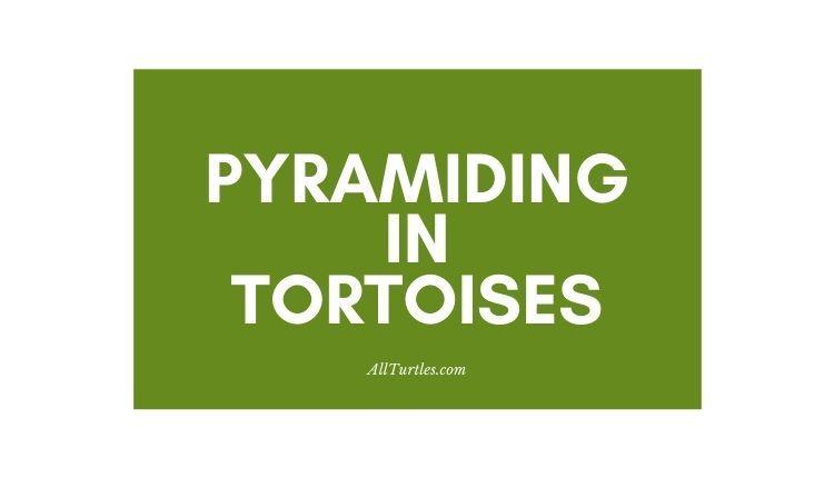 Pyramiding in Tortoises
