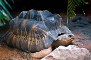 Radiated Tortoise (Astrochelys radiata)
