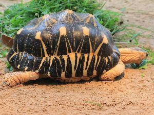 Radiated tortoise eating