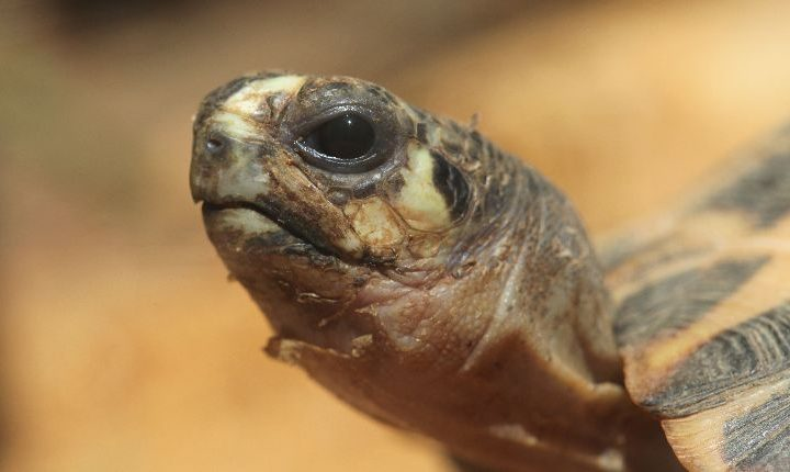 Rarest tortoises