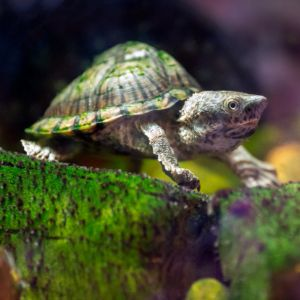 Razor-backed musk (Sternotherus carinatus) turtle swimming in tank