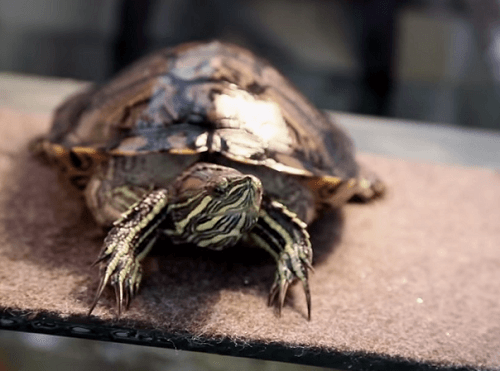 Red Ear Slider Turtle Facts - All Turtles