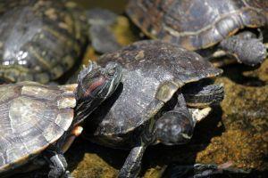 Red-Ear-Slider-Turtles