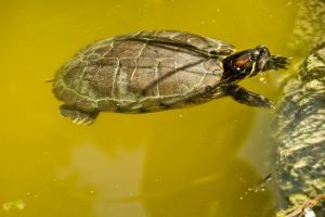 Red-Ear Slider basking in water
