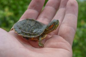 Red Eared Slider For Sale