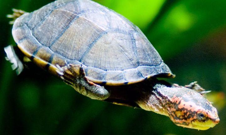 Red cheeked mud turtle (Kinosternon scorpioides cruentatum)