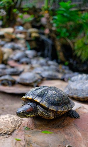 Red eared slider in Wyoming