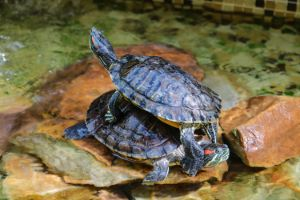 Red eared sliders stacked on each other