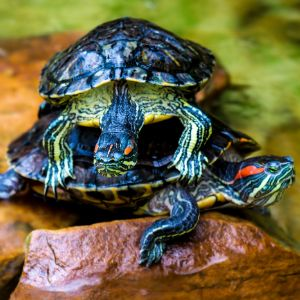 Red eared sliders stacked on top of each other (Trachemys scripta elegans)