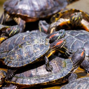 Red eared sliders stacked on top of each other basking (Trachemys scripta elegans)