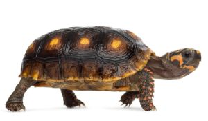 Red foot tortoise on white background