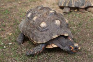 Red foot tortoise walking on grass (Chelonoidis carbonarius)