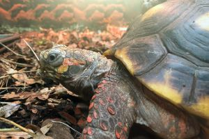 Red foot turtle walking around (Chelonoidis carbonarius)