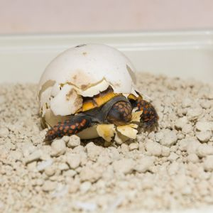 Red footed tortoise hatchling (Chelonoidis carbonarius)
