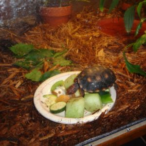Red footed tortoise on tortoise table