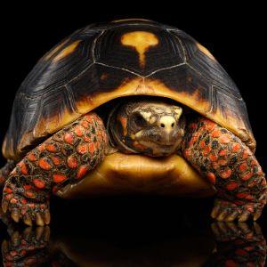 Red leg tortoise (Chelonoidis carbonarius) on black background