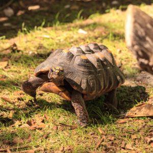 Red legged tortoise in outdoor enclosure (Chelonoidis carbonarius)