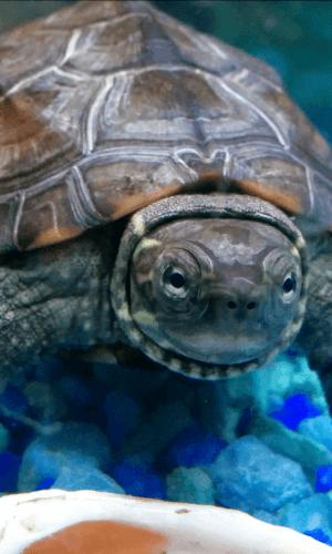 Reeves-Turtle (Chinemys_reevesii)