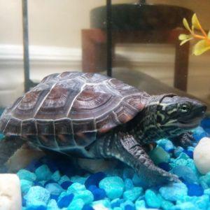 Reeves-Turtle (Chinese Pond Turtle)