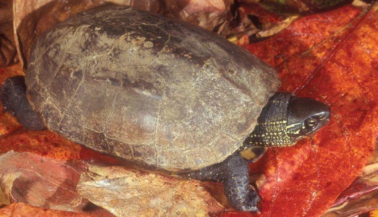 Reeves Turtle (Mauremys reevesii)