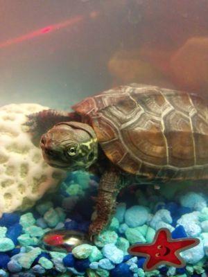 Reeves_Turtle (Chinese Pond Turtle)