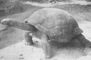 Réunion giant tortoise (Cylindraspis indica) 1894
