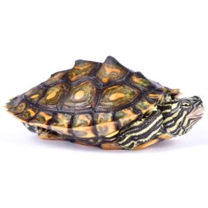 Ringed Map Turtle (Graptemys oculifera) on white background