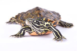 Ringed-Map-Turtle