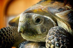 Russian Tortoise (Testudo_horsfieldii)