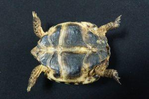 Russian tortoise abdomen
