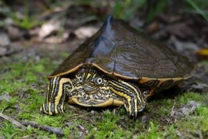 Sabine Map Turtle (Graptemys sabinensis)